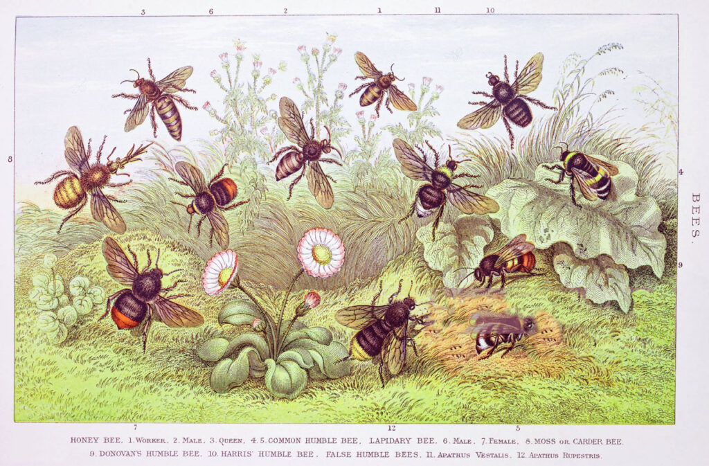 19th Century Bee Identification Guide